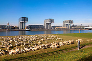 Europa, Deutschland, Koeln, Schafe auf den Rheinwiesen in Deutz, die Kranhaeuser im Rheinauhafen.<br /> <br /> Europe, Germany, Cologne, sheep on the river Rhine meadows in the district Deutz, the Crane Houses in the Rheinau harbor.