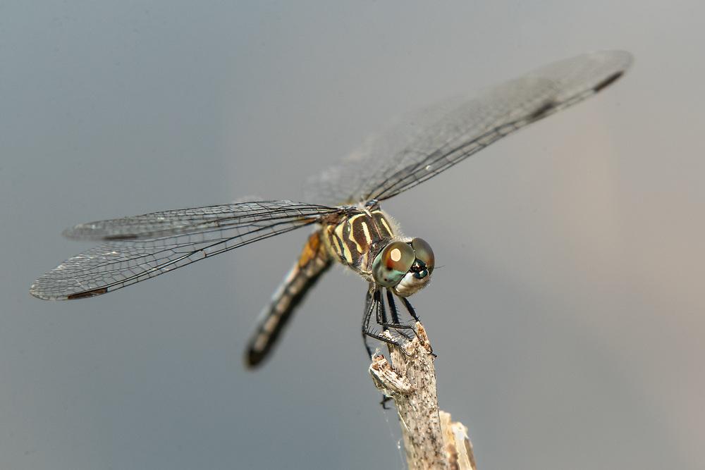 Pachydiplax longipennis, Anuhuac NWR, east Texas