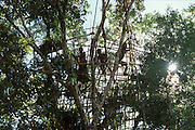 A group of Kombai men build a new treehouse some 25 meters up in a  tall tree in the rainforest of Papua, Indonesia. September 2000. The Kombai are a so-called treehouse people, building their homes high up in the trees.