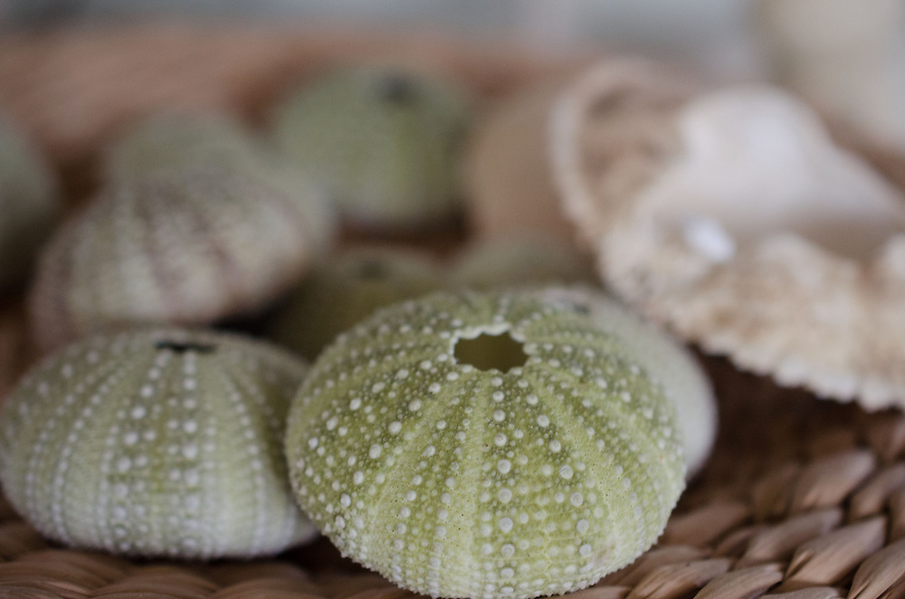 Sea Urchin Shell Detail, Nana's House, Castine, Maine, US