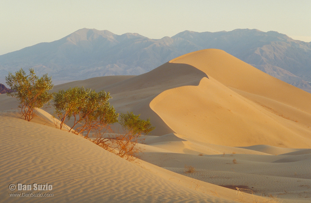 Creosote bush, Larrea tridentata, in late afternoon sunlight on the Ibex Dunes, Death Valley National Park, California