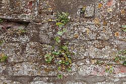 Muurleeuwenbek, Cymbalaria muralis