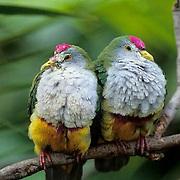 Beautiful Fruit Dove (Pitillinopus pulchellus) Papua, New Guinea. Captive Animal.