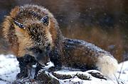 Red Fox, Vulpes fulva, Minnesota ,USA  cross phase fox in snow blizzard storm weather