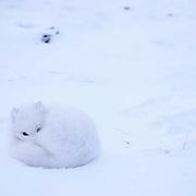 Arctic Fox (Alopex lagopus) Curled up resting. Churchill, Manitoba. Canada.