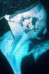 reef manta rays or coastal mantas, feeding frenzy on plankton at night, Manta alfredi, Kona Coast, Big Island, Hawaii, USA, Pacific Ocean