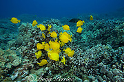 herbivorous yellow tangs ( Zebrasoma flavescens ) feed by grazing algae off coral reef, Puako, Kona, Hawaii, USA ( Central Pacific Ocean )