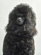 Black Medium or Moyen poodle