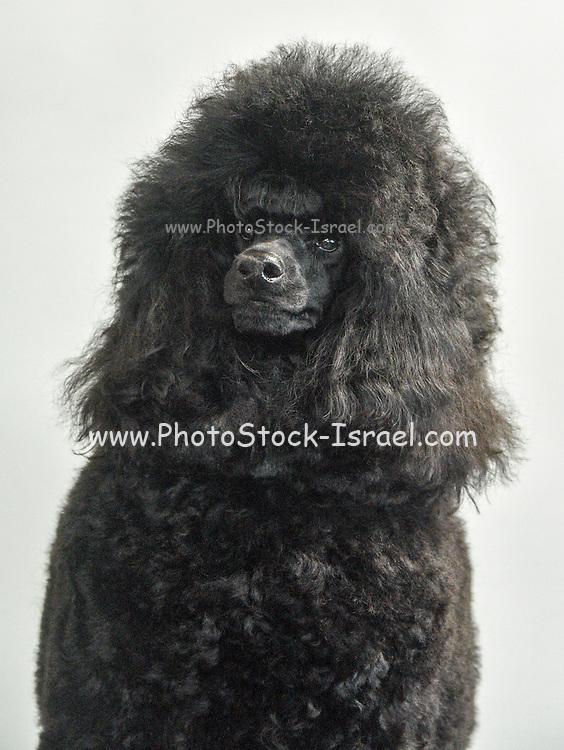 Black Medium or Moyen poodle