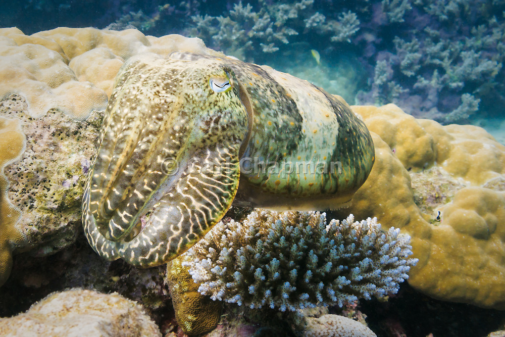 Reef cuttlefish (sepia latimanus) on coral reef  - Agincourt reef, Great Barrier reef, Queensland, Australia. <br />