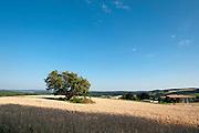 Landschaft, Getreidefeld mit Baum, bei Höchst im Odenwald, Odenwald, Naturpark Bergstraße-Odenwald, Hessen, Deutschland | tree in corn field near Höchst im Odenwald, Odenwald, Hessen, Germany