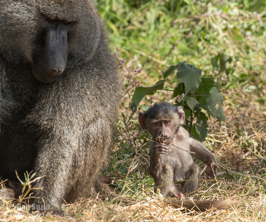 A baby Olive Baboon, Papio anubis, sits beside an adult male in Ngorongoro Crater, Ngorongoro Conservation Area, Tanzania