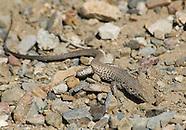 Great Basin Whiptail, Cnemidophorus tigris tigris