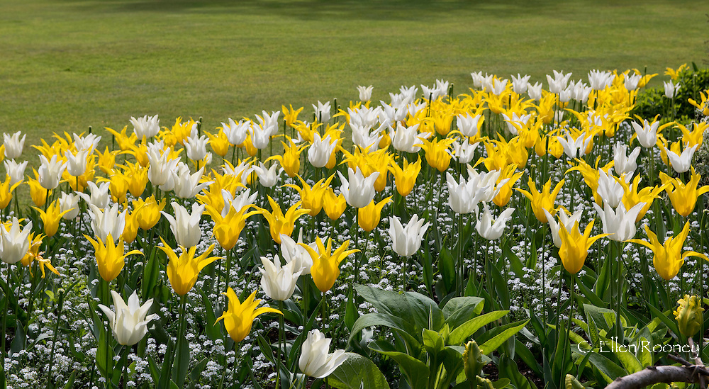 Lily flowered tulips ''West Point' a yelow tulip and 'White Triumphator' in a bed a tPashley Manor Gardens, Ticehurst, East Sussex, UK