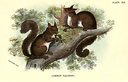 The red squirrel or Eurasian red squirrel (Sciurus vulgaris) is a species of tree squirrel in the genus Sciurus common throughout Eurasia. The red squirrel is an arboreal, primarily herbivorous rodent.  From the book ' A hand-book to the British mammalia ' by  Richard Lydekker, 1849-1915  Published in London, by Edward Lloyd in 1896