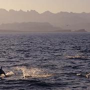Common Dolphin (Delphinus delphis) in the Sea of Cortez near Baja, Mexico.