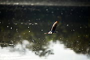 Aquidauana_MS, Brasil...Passaro voando sobre o rio na fazenda Rio Negro no Pantanal...A bird flying over the river in Rio Negro farm in the Pantanal...Foto: JOAO MARCOS ROSA / NITRO