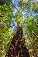 Armstrong Redwoods State Natural Reserve is a state park, established to preserve coast redwoods (Sequoia sempervirens) in Sonoma County,  Guerneville, CA
