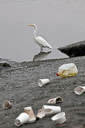 A Snowy Egret walks amongst garbage that accumulates in Trash Net boom at the mouth of the Ballona Creek after first rainfall of the year. Urban runoff from heavy rains carries an assortment of styrofoam cups, plastic bottles and bags and other trash that has built up on streets and catch basins since the last rains into the Ballona Creek, a nine-mile waterway that drains the Los Angeles basin. While the boom catches some of this trash, smaller particles and many other pollutants still empty into the Santa Monica Bay and Pacific Ocean. Culver City, Los Angeles, California, USA