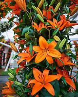 Orange lilies. Tulip festival at Keukenhof Gardens in Lisse, Netherlands. Image taken with a Nikon D4 camera and 14-24 mm f/2.8 lens.