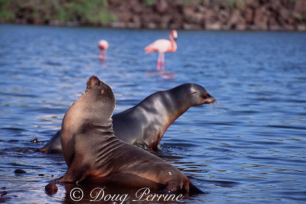 Galapagos sea lions, Zalophus wollebaeki, endemic and endangered species, and pink flamingos, Galapagos Islands, Ecuador ( E. Pacific )