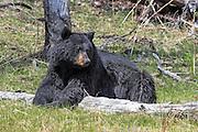 Large boar Black bear in habitat