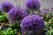 Purple Allium cristophii, common name Persian onion or Star of Persia