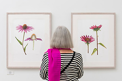 © Licensed to London News Pictures. 17/09/2021. LONDON, UK. A visitor views illustrations of Echinacea by Jarnie Godwin.  Preview of the RHS Botanical Art & Photography Show 2021 at the Saatchi Gallery.  More than 200 pieces featuring an array of scientifically accurate botanical illustrations by 15 artists and portfolios from 19 photographers are on show September 18 to October 3, 2021 in an event that runs parallel to the RHS Chelsea Flower Show, hosted for the first time in Autumn.  Photo credit: Stephen Chung/LNP