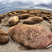 A large colony of walruses (Odobenus rosmarus rosmarus) hauled up on a sandy beach area to rest. Individuals occasionally ventured into the water for a while before returning to the group to sleep.