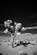 An infrared image of a Joshua Tree near the entrance of Death Valley National Park