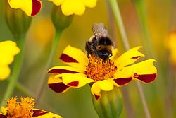 Tagetes patula 'Bo Jangle' with bee. Marigold