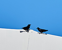 Common Raven (Corvus corax). NRAO Very-Large Array, New Mexico. Image taken with a Nikon D4 camera and 500 mm f/4 VR lens.