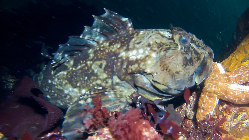 A Cabezon (Scorpaenichthys marmoratus) in Edmonds Underwater Park, Washington. These big fish are common in EUP, and are known for their aggressive behavior. Photo by William Drumm.