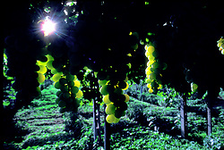Stock photo of grape clusters on the vine in the Albani District in Italy