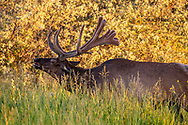 Bull elk in velvet at The National Bison Range in Moiese, Montana, USA