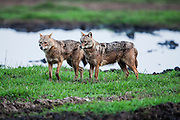 Golden Jackal (Canis aureus), also called the Asiatic, Oriental or Common Jackal, Photographed in Hula valley, Israel