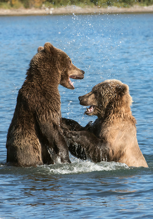 North America; United States; Alaska; Katmai National Park; Brooks River; Autumn; Wildlife; Mammals; Brown Bear; Ursus arctos. Play-fighting.