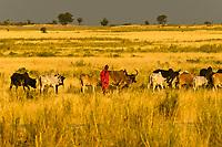 Maasai herding cattle, Tanzania