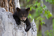 A spring black bear cub rests in the stump of a tree.