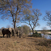 African elephants along the Sand River, Malamala Game Reserve, South Africa.
