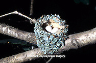 01162-016.17 Ruby-throated Hummingbird (Archilochus colubris) nest with eggs Marion Co.   IL
