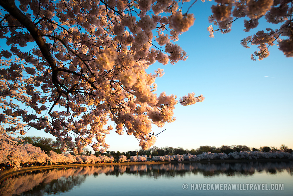 The famous cherry blossoms ringing the Tidal Basin in Washington DC a couple of days after peak bloom.