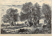 Olive trees in the Garden of Gethsemane, Jerusalem From the book 'Those holy fields : Palestine, illustrated by pen and pencil' by Manning, Samuel, 1822-1881; Religious Tract Society (Great Britain) Published in 1874