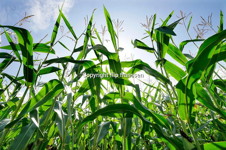 Nederland,Sinderen, 23-8-2020 Een veld maisplanten op een zomerse dag met blauwe lucht en veel zon .. Foto: ANP/ Hollandse Hoogte/ Flip Franssen