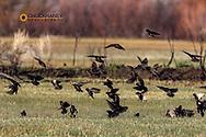 European Starlings take flight at Malhuer NWR near Frenchglen, Oregon, USA