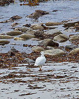 Kelp Goose (Chloephaga hybrida). Stanley, Falkland Islands. Image taken with a Leica T camera and 18-56 mm lens.