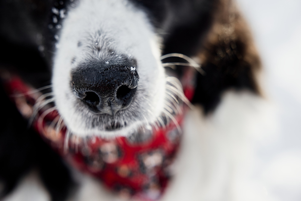 Detail of Australian Shepherd nose in the snow
