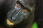 A motion-blur of a curious juvenile Celebes Crested Macaque ( Macaca nigra ) with big amber-colored eyes; looks straight up exposing his teeth in warning, Sulawesi, Indonesia
