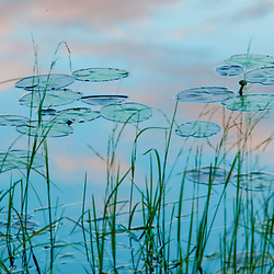 Water lilies and cloud reflections in Lone Jack Pond in Maine's Northern Forest. Cold Stream watershed. Johnson Mountain Township.