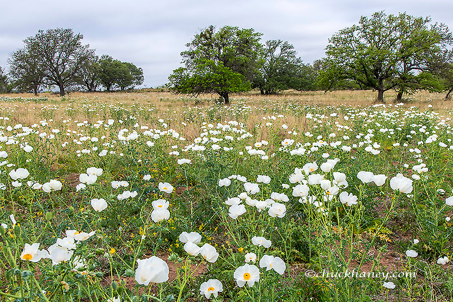 Field of white prickly poppy wildflowers near Llano, Texas, USA